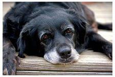 наша старая собака