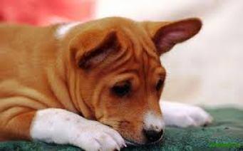 Какая собака не умеет лаять