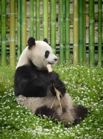 Resultado de imagen para panda gigante