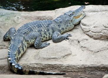 gdr-crocodylus-siamensis-07021