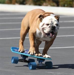 tillman-skateboarding-dog-inline-today-151029_3e184a2febd321bce3cc46b0beed29d5.today-inline-large