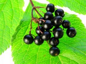 elderberries-with-light-background