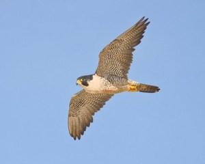peregrine_falcon_3