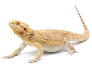 bearded-dragon-5