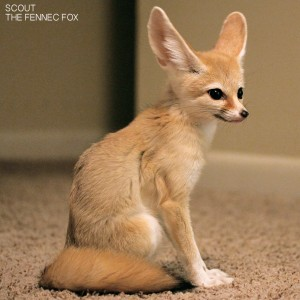 scout-the-fennec-fox