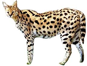 serval-cat-b1