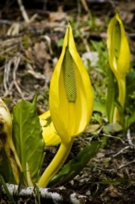 Yellow-skunk-cabbage