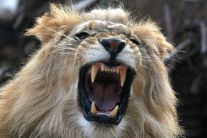 Wild Animal Park - Male Lion Teeth - 8x12