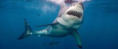 gty_Great_white_shark_mm_150616_12x5_1600