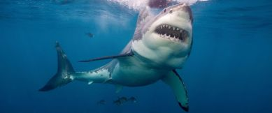 gty_Great_white_shark_mm_150616_12x5_1600