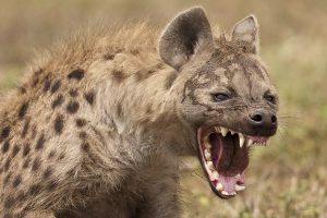 hyena5