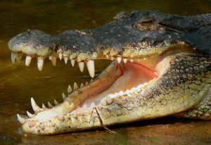 pics-animals-clearly-visible-teeths-and-jaw-crococile-pictures