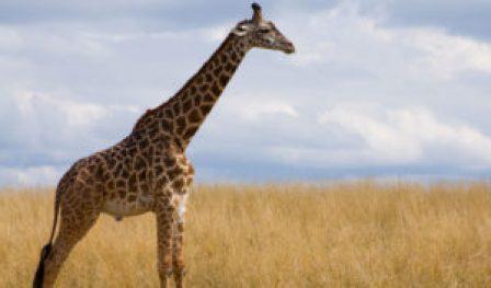 masai-giraffe-2