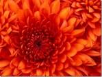 Chrysanthemum_thumb.jpg
