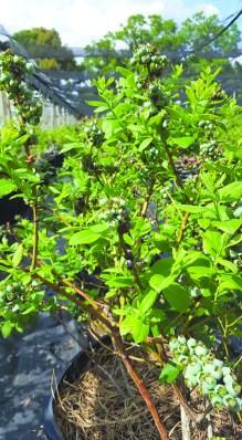 FloridaOrganicsBlueberries