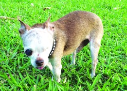 harleys-hero-one-eye-dog
