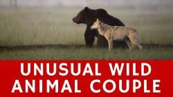 Lassi Rautiainen registra amizade entre uma loba cinza e um urso pardo
