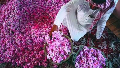 Photo of 500 مليون وردة طائفية في موسم الجمال والربيع