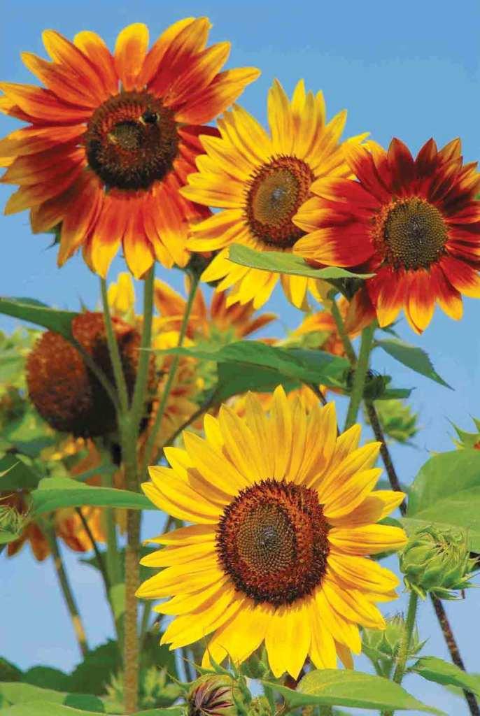 هاويـة الزراعـة «الزينـة البابـطــيـــــــــــــن»: دوَّار الشمس.. صديقُ حديقتكم