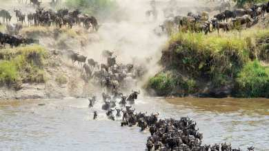 Photo of الهجرة العظيمة».. الحياة البرية في أكثر حالاتها الوحشية«