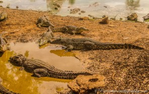 Wildlife topic: alligators