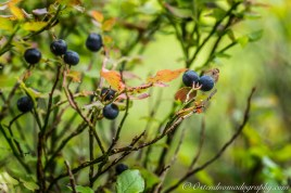 Wild Blue Berries 2