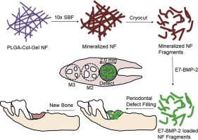 Mineralized nanofiber segments coupled with calcium-binding BMP-2 peptides for alveolar bone regeneration