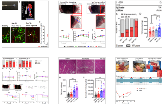 Combined delivery of VEGF and IGF-1 promotes functional innervation in mice and improves muscle transplantation in rabbits