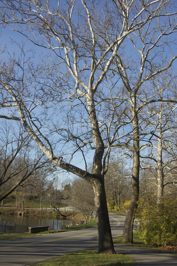 American Sycamores come in many shapes depending on growing conditions