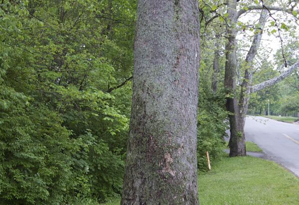 Medium frame shot of sycamore bark texture