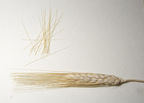 Dried grass seed heads clipped