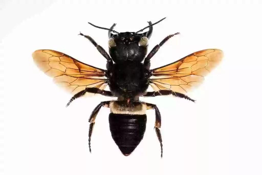 ape gigante Megachile pluto