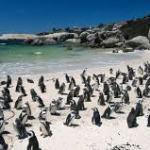 penguins boulders