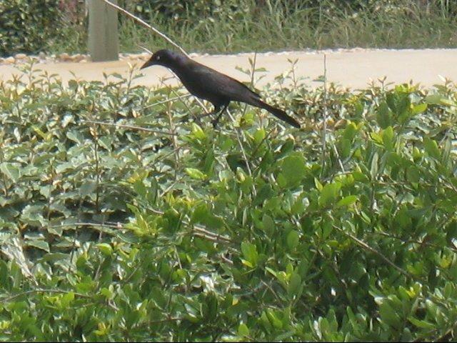 Pretty black birds flew all around the beach house