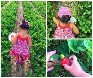 Strawberry picking fun with the family at Stade's Farm & Market in McHenry.