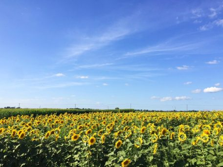 All about the amazing sunflower maze at Von Bergen's Country Market in Hebron, Illinois