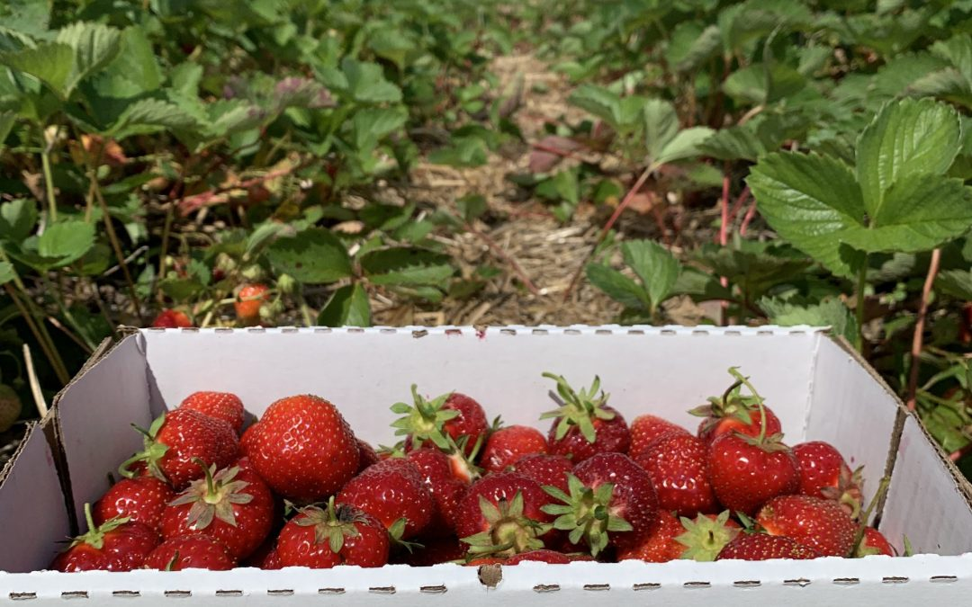 Sweet Strawberry Picking Fun at Tom's Farm Market in Huntley