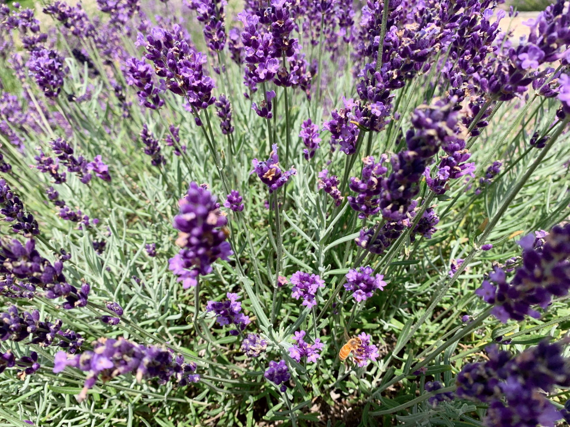9 Reasons To Visit New Life Lavender And Cherry Farm In Baraboo O The Places We Go