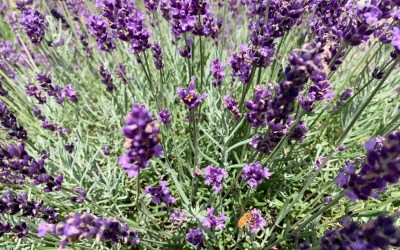 9 Reasons to Visit New Life Lavender and Cherry Farm in Baraboo