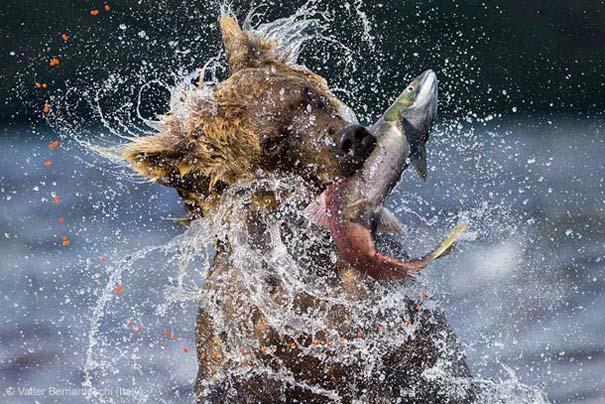 Wildlife Photographer of the Year 2013 (7)