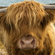 Highland Coo at Big Sands