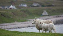 Sheep at Croft 28