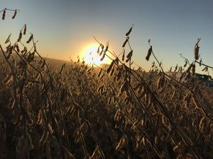 soybeans-sunset-dark
