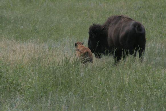 south dakota buffalo5
