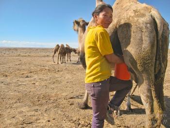 Milking a camel