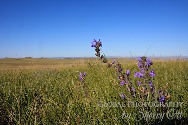 mongolia flower