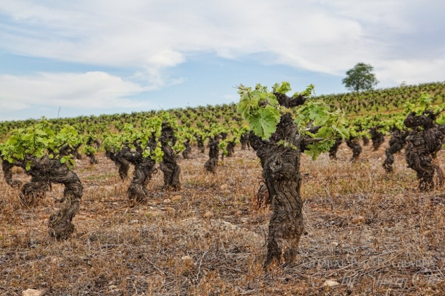 new leaves on the vines