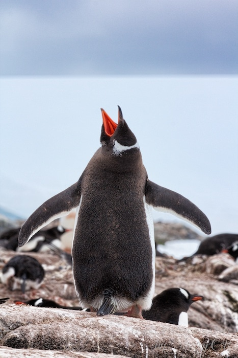 Penguin yell