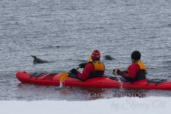Penguins jumping around our kayaks