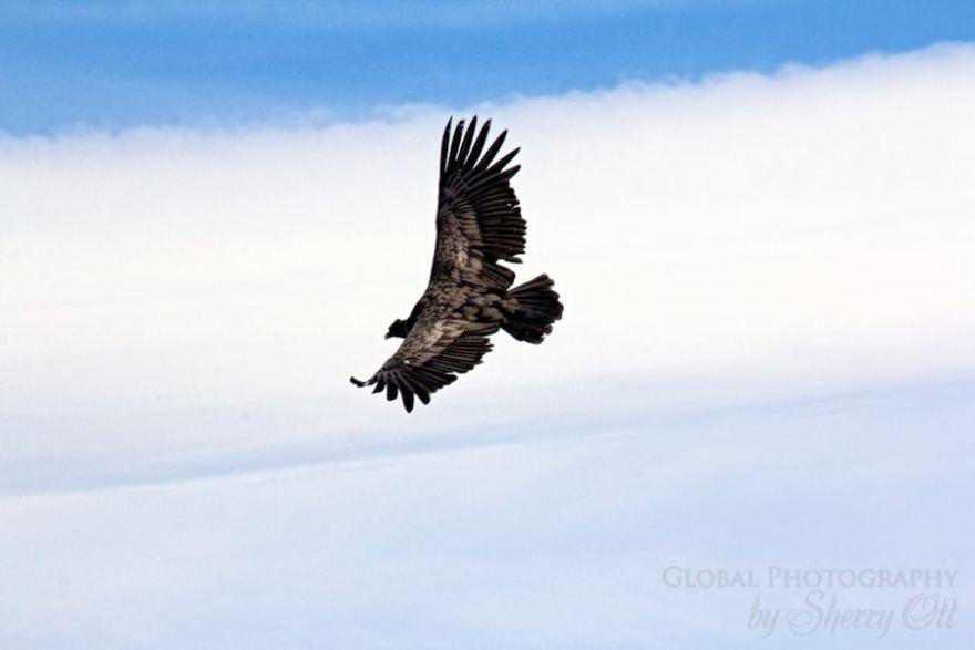 A condor glides above me